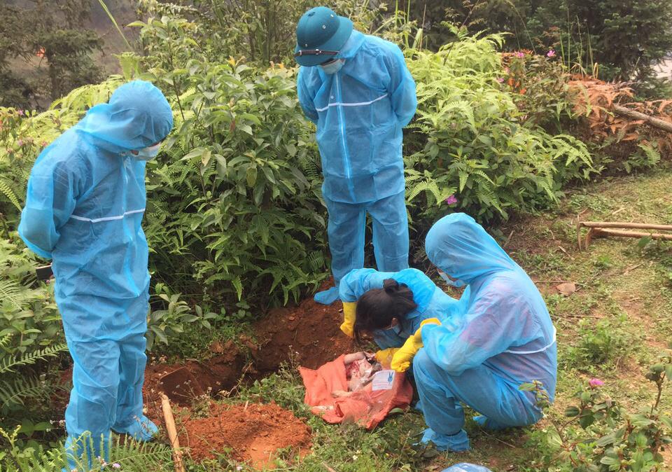 Tiêu hủy lợn bị mắc dịch bệnh tại huyện Mường Khương