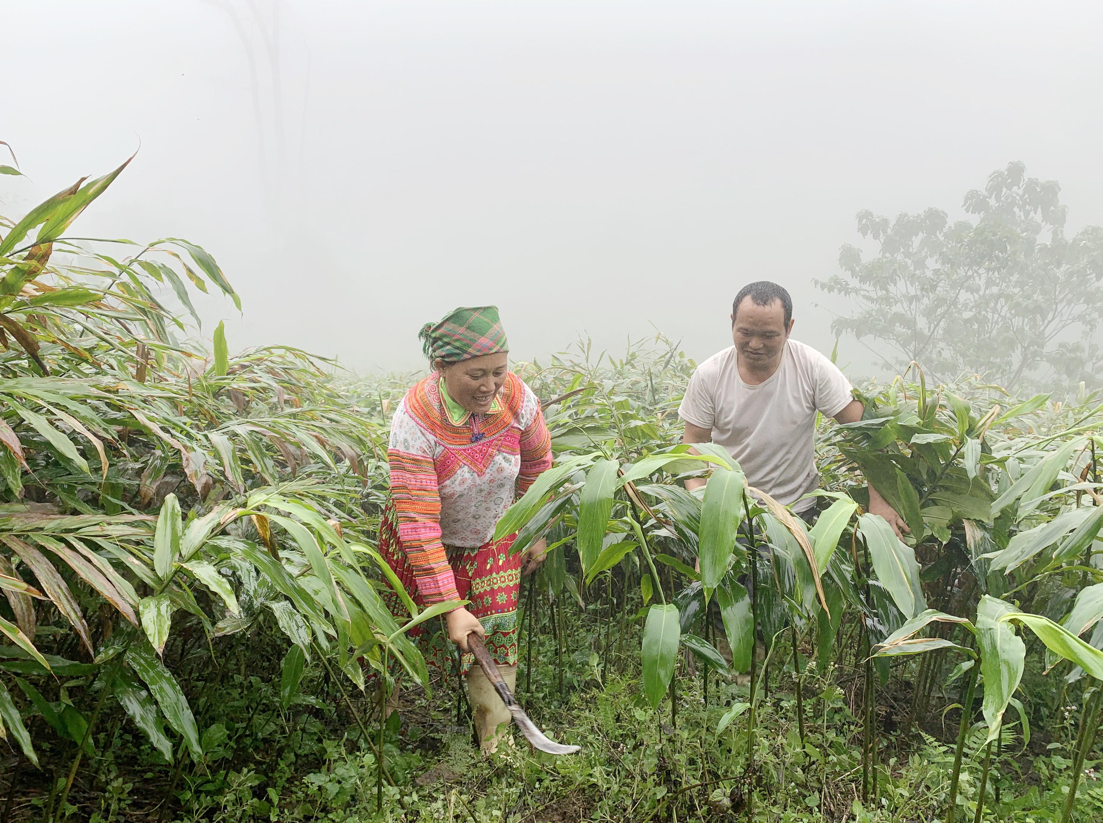 Vợ chồng ông Lự chăm sóc vườn sa nhân của gia đình