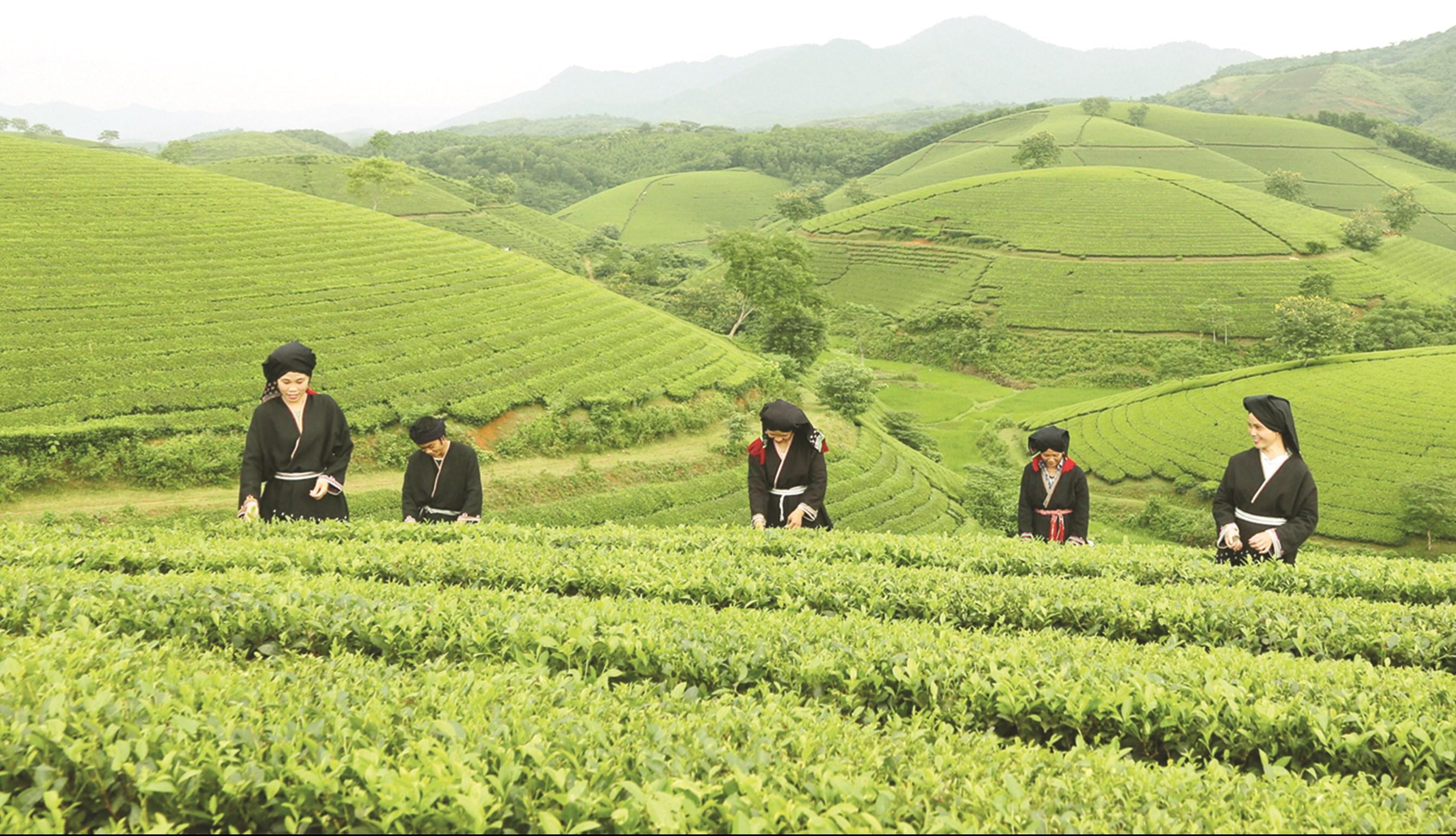 Sản xuất trà xanh chất lượng cao mang lại thu nhập cao cho đồng bào DTTS tỉnh Phú Thọ.