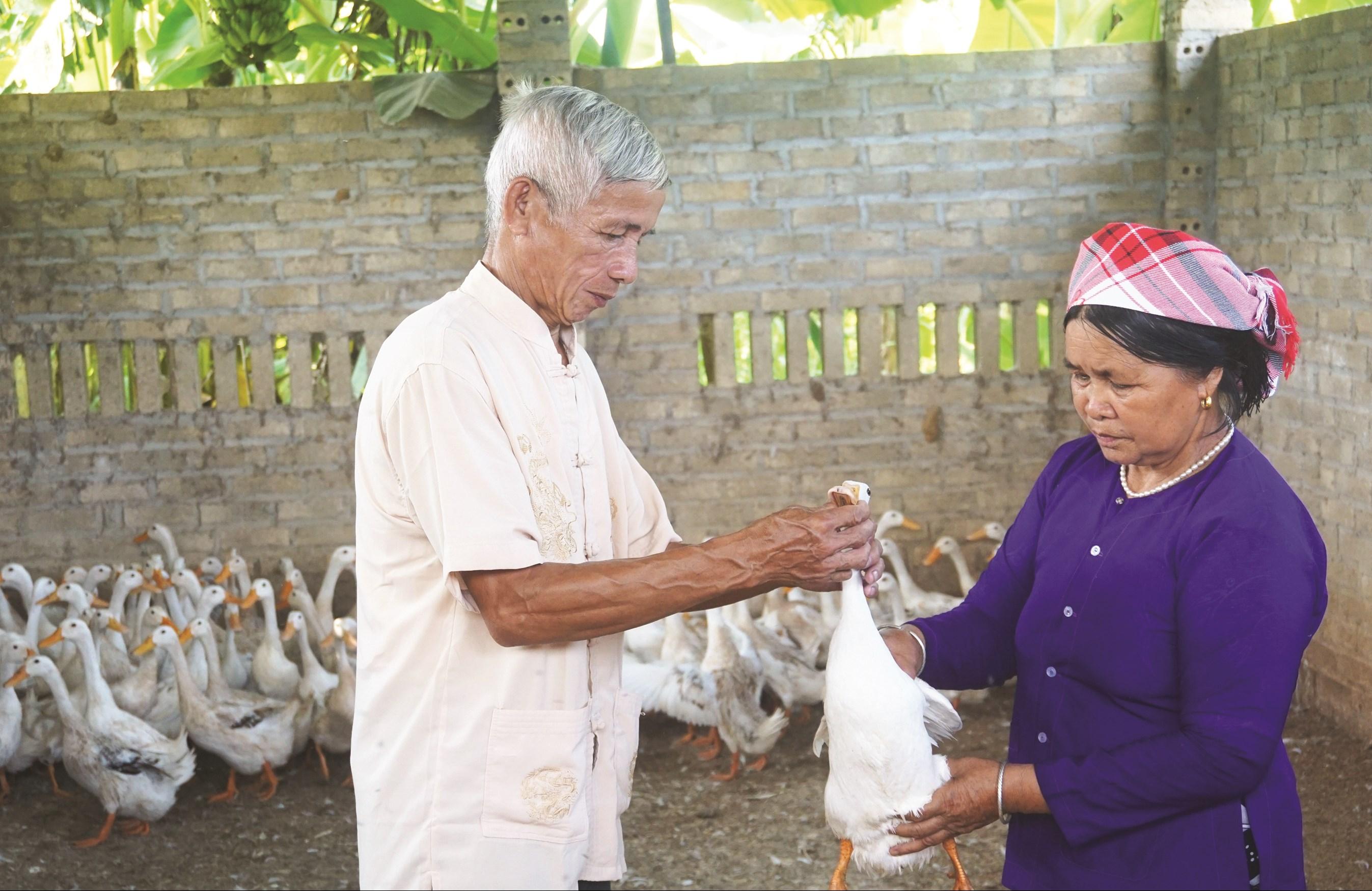 Mô hình nuôi ngan lai mang lại hiệu quả kinh tế cao của một hộ dân ở huyện Văn Bàn (Lào Cai).