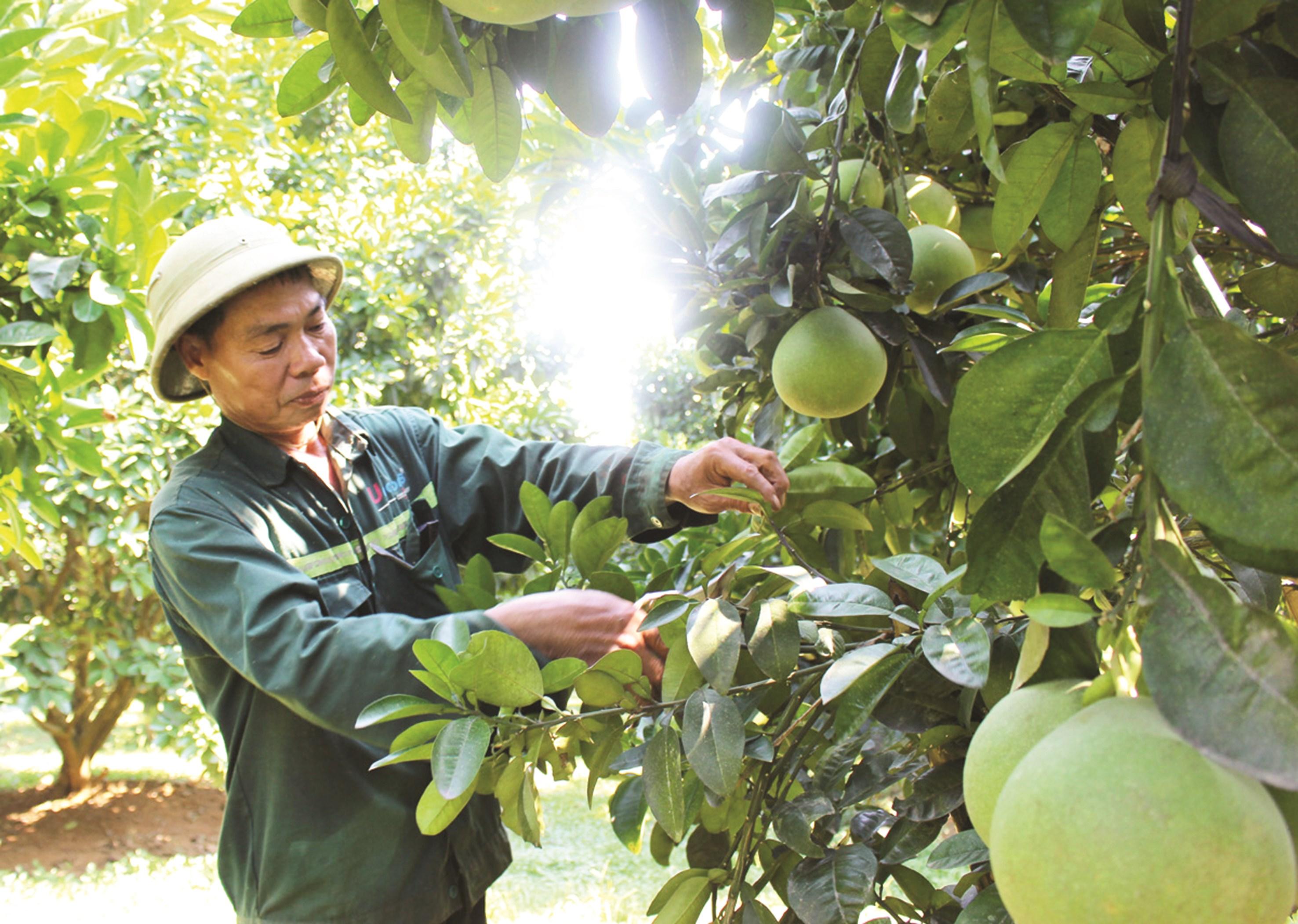 Phát triển cây có múi đem lại hiệu quả kinh tế cao cho thành viên HTX Mường Động (Hòa Bình).