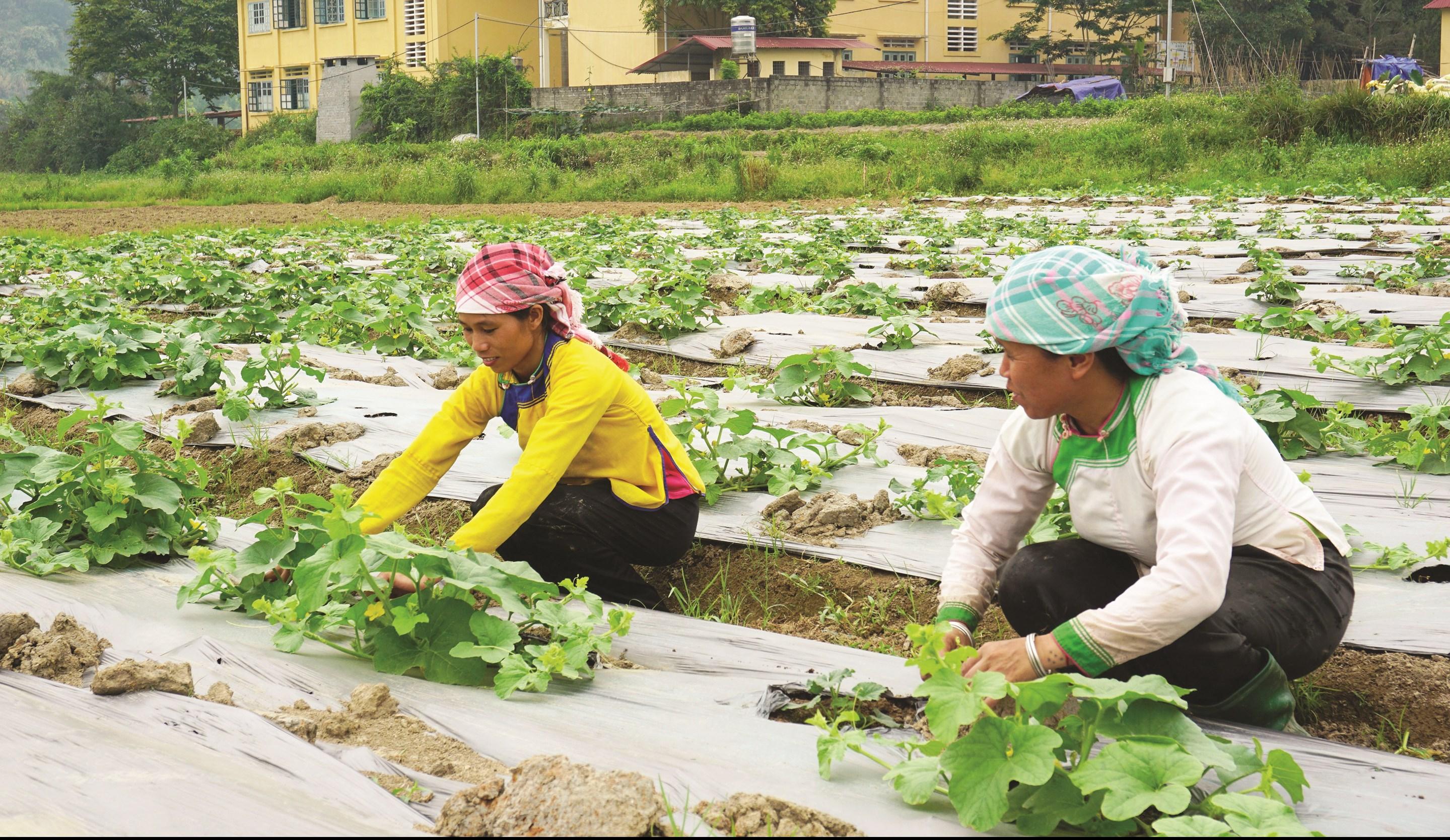 Đồng bào các dân tộc trên địa bàn tỉnh Lào Cai chủ động chuyển đổi cây trồng, nâng cao thu nhập, từng bước thoát nghèo, vươn lên làm giàu.