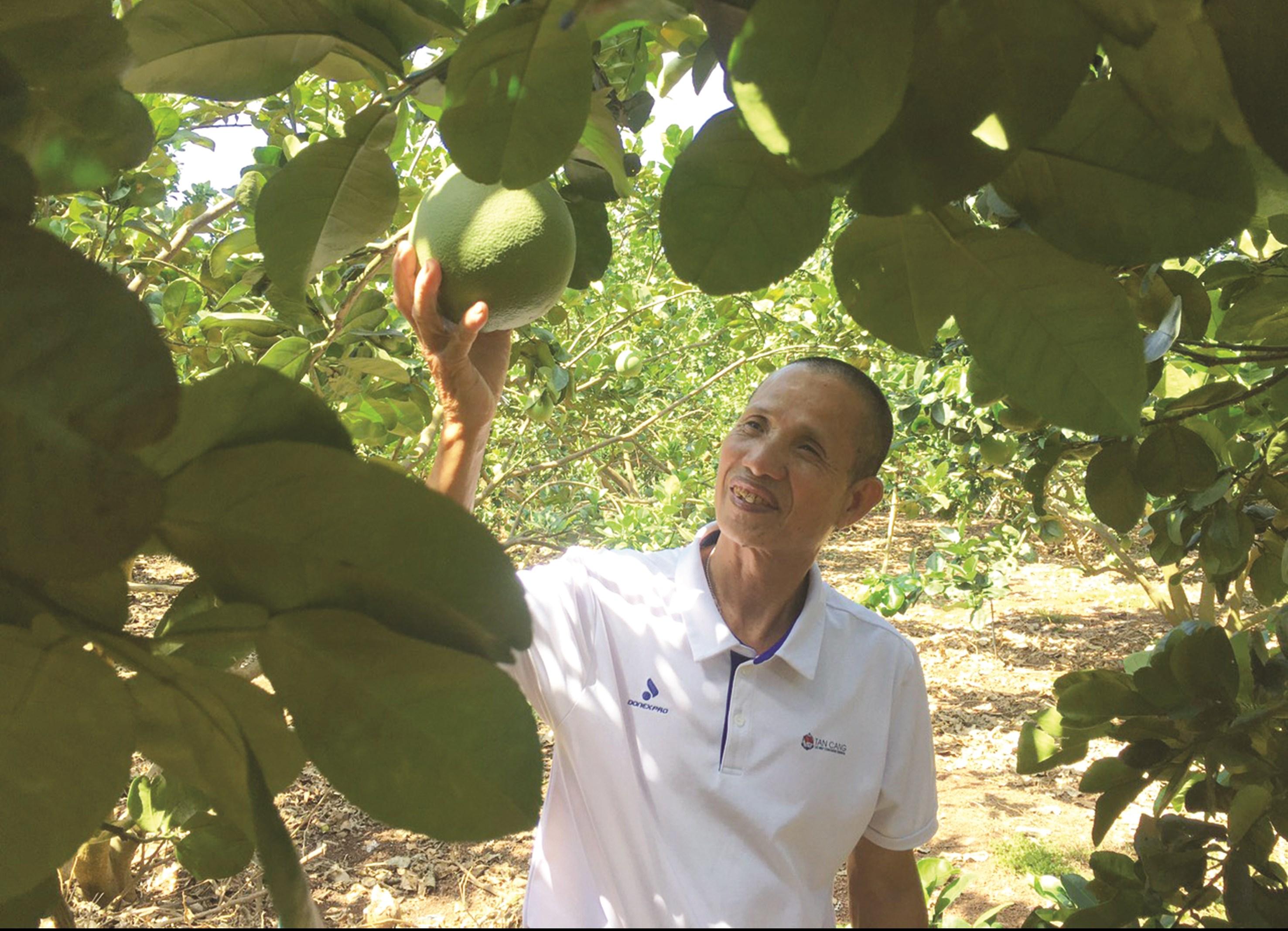 Ông Nguyễn Văn Bàn, một tỷ phú từ trồng bưởi ở xã Xuân Bắc, huyện Xuân Lộc.