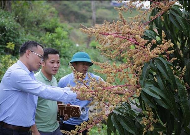 Cán bộ xã Nậm Manh là những đảng viên được phân công xuống từng bản hướng dẫn người dân cách chăm sóc vườn cây ăn quả, góp phần phát triển kinh tế, tăng thu nhập cho người dân. Ảnh: Quý Trung – TTXVN