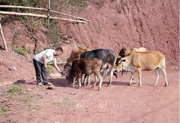 Bí thư Chi bộ, Trưởng bản Nậm Nàn, xã Nậm Manh Sùng A Thùng chăm sóc đàn bò của gia đình. Anh là một trong những tâm gương điển hình đi đầu trong phát triển kinh tế xóa đói giảm nghèo của bản. Ảnh: Quý Trung – TTXVN