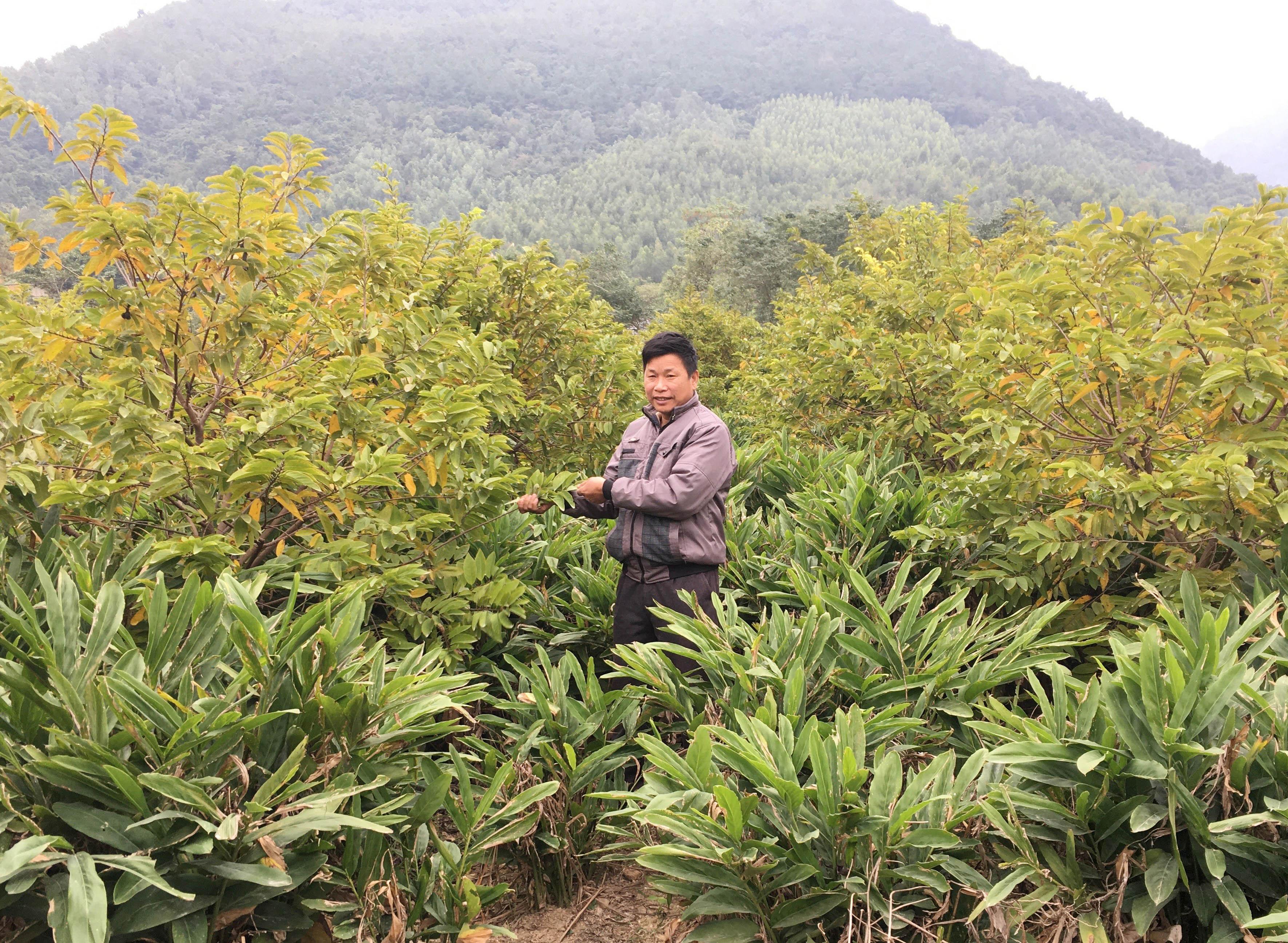 Mô hình trồng riềng dưới tán cây na của gia đình ông Chung