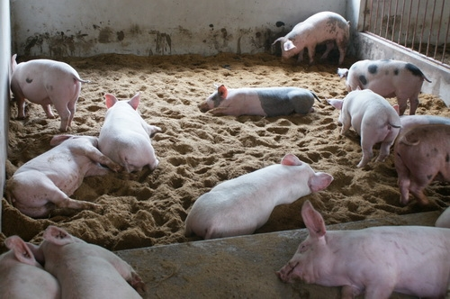 Việc sử dụng đệm lót sinh học trong chăn nuôi đang được một số hộ chăn nuôi ở Hà Giang bắt đầu thử nghiệm (Ảnh minh họa: khuyennongvn.gov.vn)