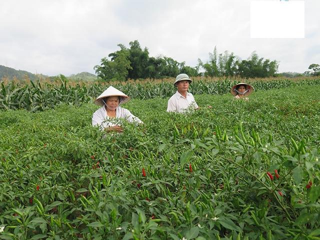 Nông dân xã Bắc Thủy (huyện Chi Lăng, Lạng Sơn) thu hoạch ớt