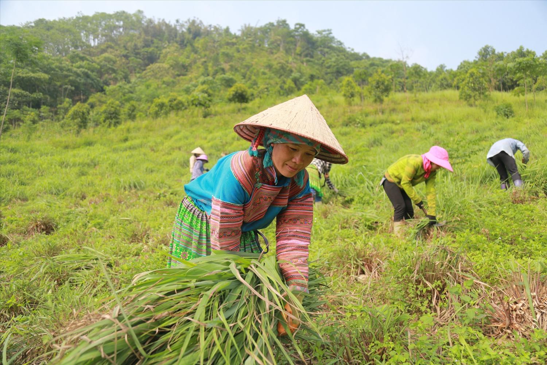 Cây sả giúp cho bà con nông dân có thu nhập hàng trăm triệu đồng/ha