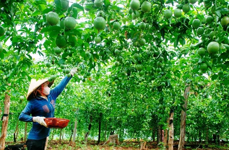 Nhiều hộ gia đình ở Đắk Glong đã từng bước ổn định kinh tế, vươn lên thoát nghèo. Ảnh: BĐN