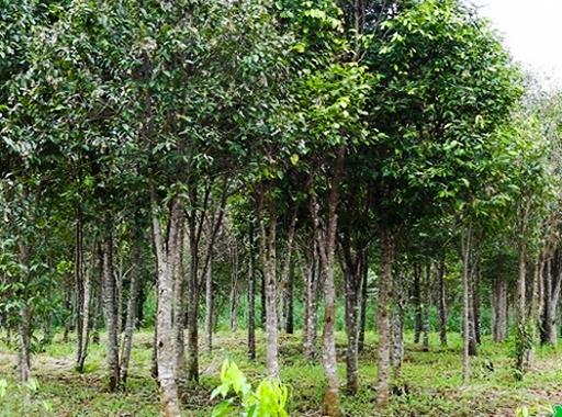 Những khu rừng trồng Dó của người dân trên đất Hương Khê