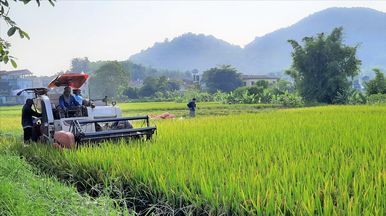 Các xã, thị trấn trên địa bàn huyện Lục Yên đưa máy gặt đập liên hợp vào thu hoạch lúa vụ Xuânn