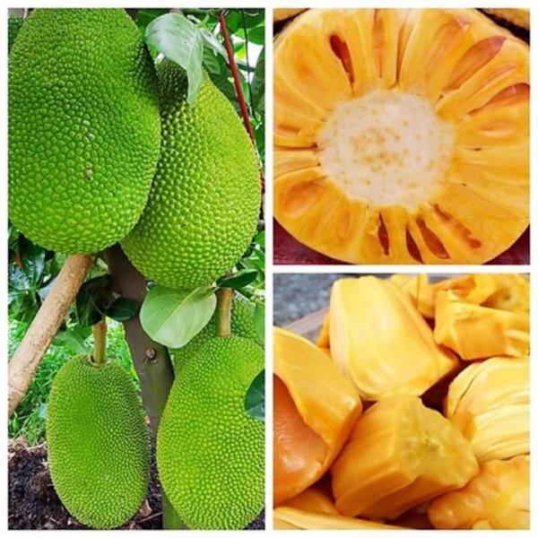 Mít thái là loại cây dễ trồng dễ chăm sóc và múi mọng và giòn ngọt