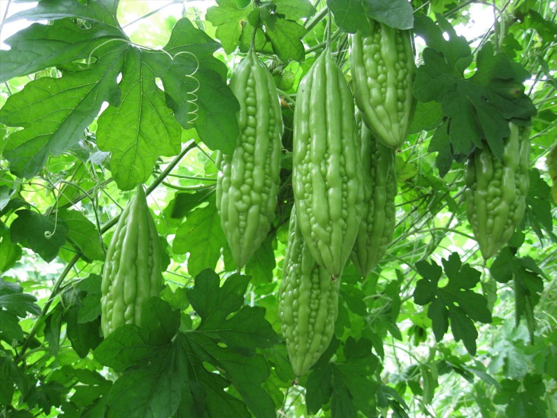 Mướp đắng bổ rất tốt cho sức khỏe và thích hợp trồng trong tháng 6