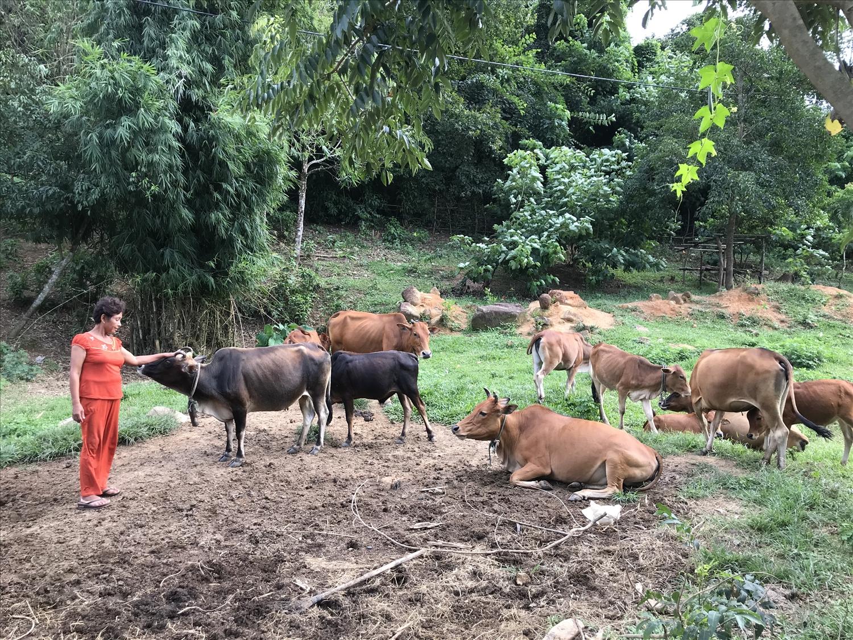 Đàn bò trên 20 con của gia đình chị Hồ Thị Hoa