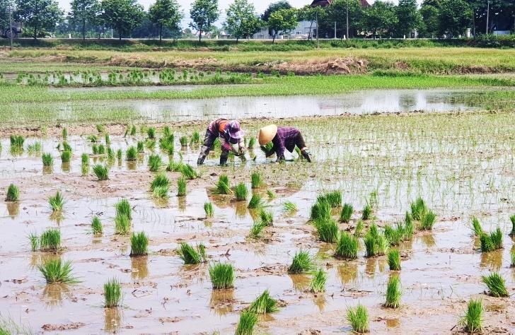 Nông dân huyện Hưng Nguyên (Nghệ An) cấy lúa hè thu