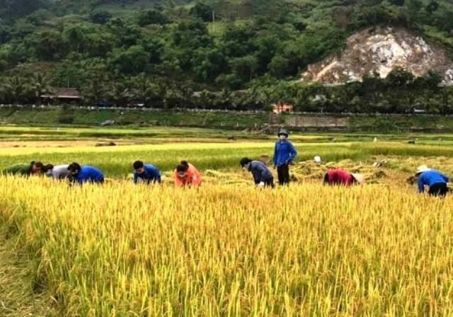 Đoàn viên thanh niên tỉnh Điện Biên giúp Nhân dân gặt lúa. Ảnh: BĐB