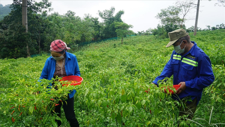 Trồng ớt cho gia đình anh Dương Xuân Trong, thôn Na Lộc, xã Khánh Yên Thượng thu nhập cao gấp 4-5 lần so với trồng ngô, lúa