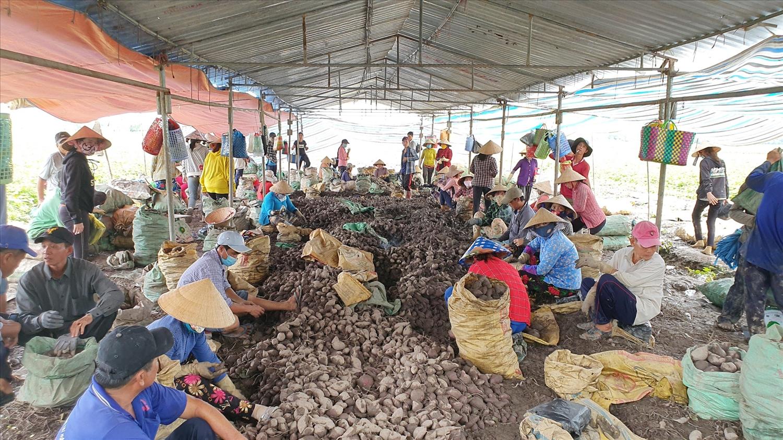 Người trồng khoai Vĩnh Long điêu đứng vì giá khoai thấp kỉ lục