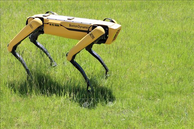 Spot, robot chó màu vàng di chuyển bằng 4 chân như một chú chó thực thụ.