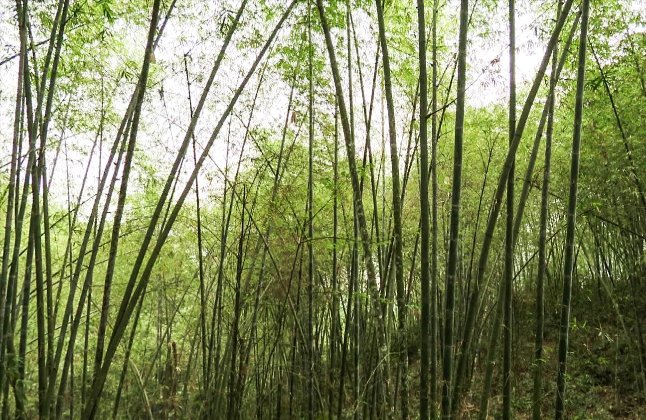 Rừng luồng ở Xã Tam Lư, huyện Quan Sơn