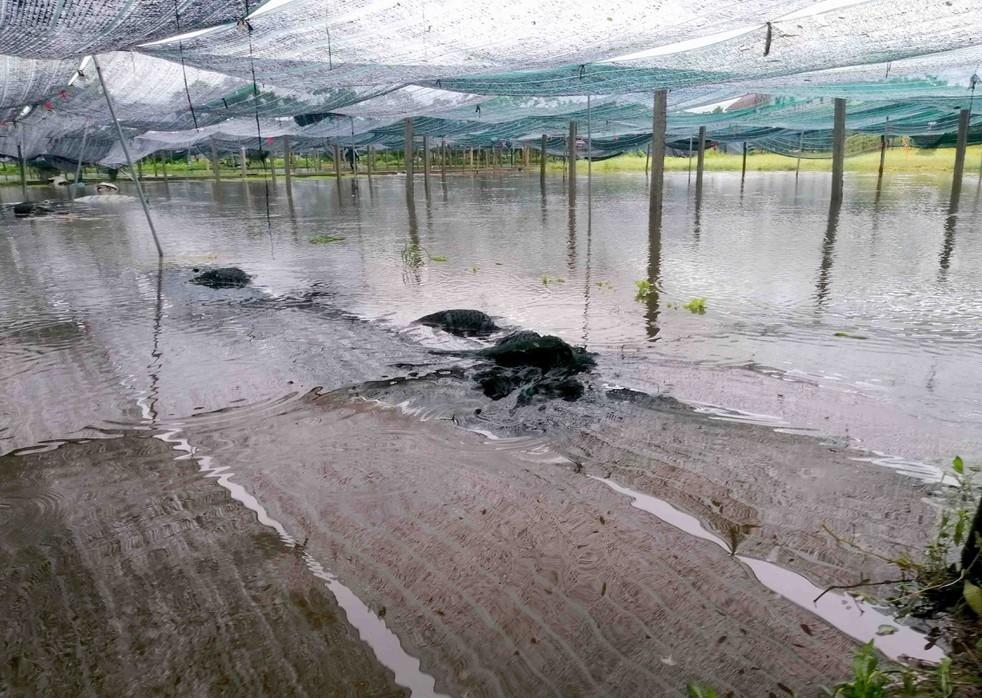nhiều cánh đồng tại vùng rau Vinh Xuân, xã Hưng Đông, TP.Vinh bị ngập nặng.