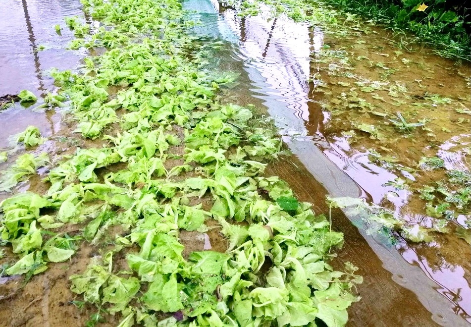 Nhiều diện tích rau tại Nghệ An bị mưa dập nát