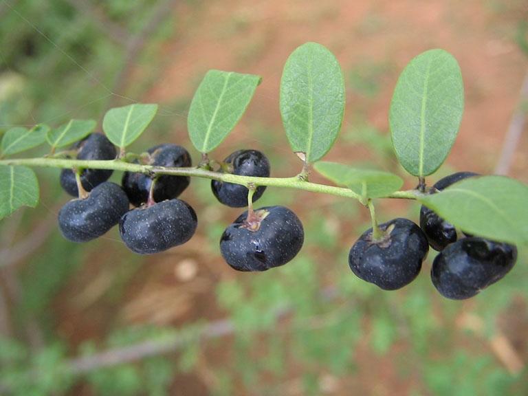 Phèn đen được xem là một trong những vị thuốc vô cùng quý giá trong dân gian từ xưa đến nay.