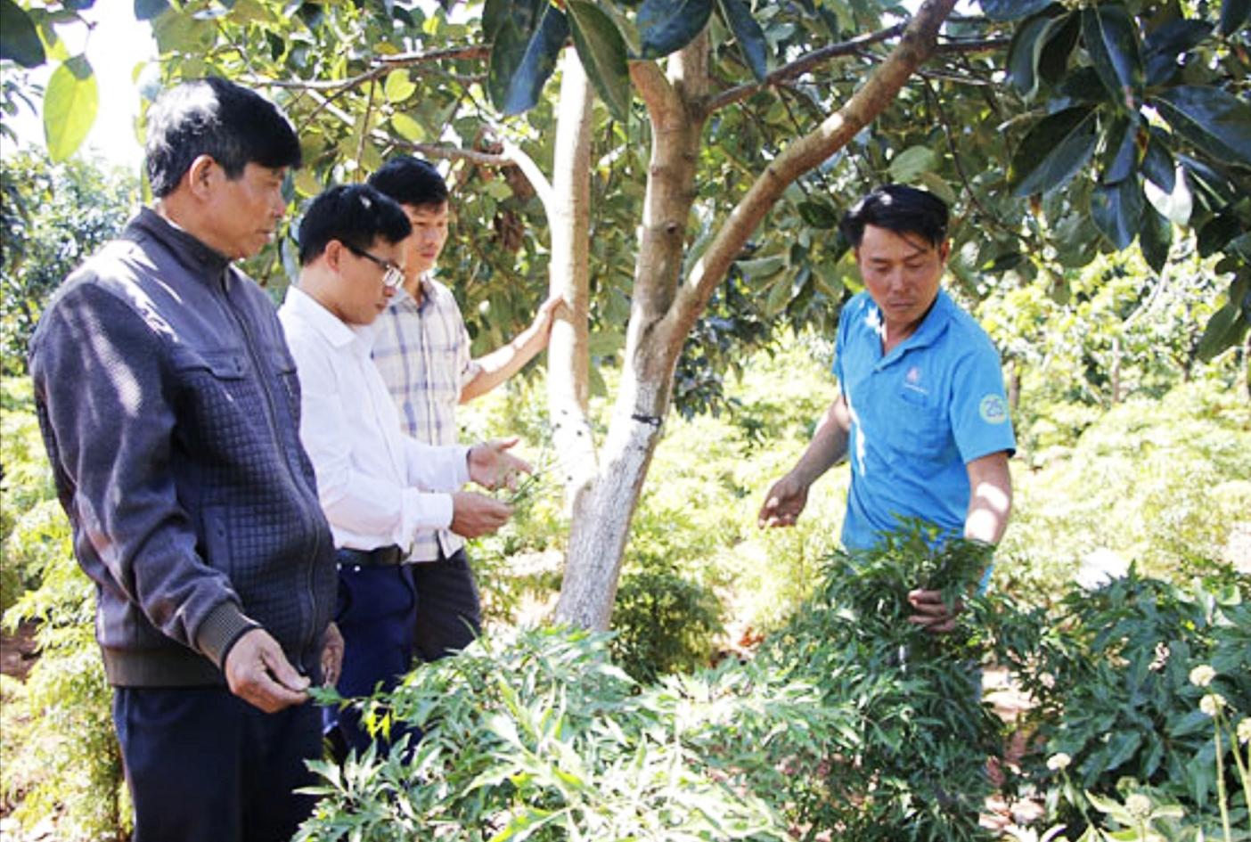 Mô hình xen canh cây ăn quả trong vườn cà phê