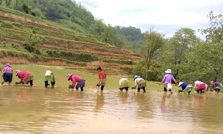 Bà con người Mông xã Bản Phố (Bắc Hà) cấy lúa vụ mùa