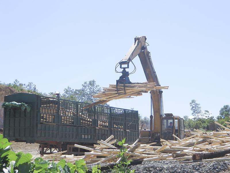 Trồng rừng gỗ lớn sau khai thác được thu mua với giá cao hơn trồng rừng truyền thống