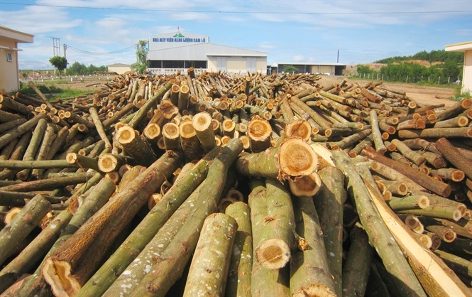 Gỗ lớn có chứng chỉ FSC được các nhà máy chế biến gỗ trên địa bàn Quảng Trị thu mua hết