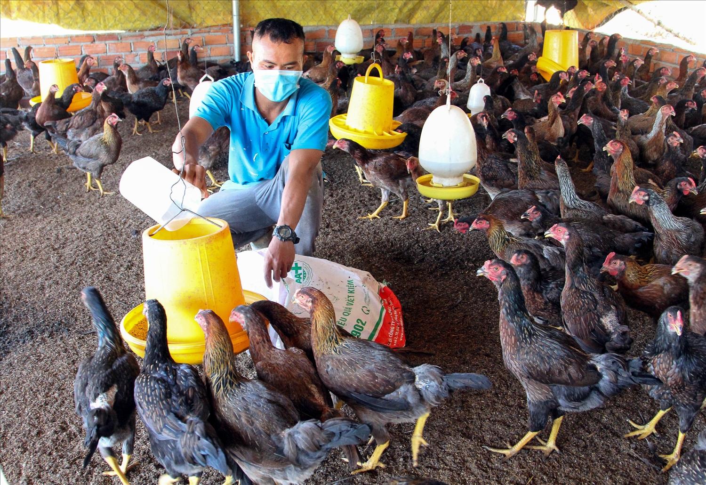 Anh Chamaléa Đất chăm sóc đàn gà nuôi thịt chuẩn bị xuất chuồng.