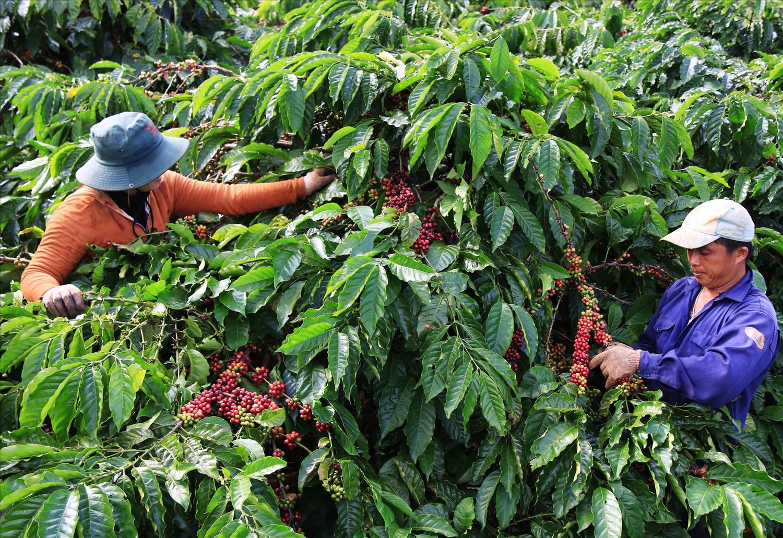 Giá cà phê hôm nay 19/7/2021 tại thị trường trong nước đang giao dịch quanh ngưỡng 35.400 - 36.300 đồng/kg. Ảnh: Internet