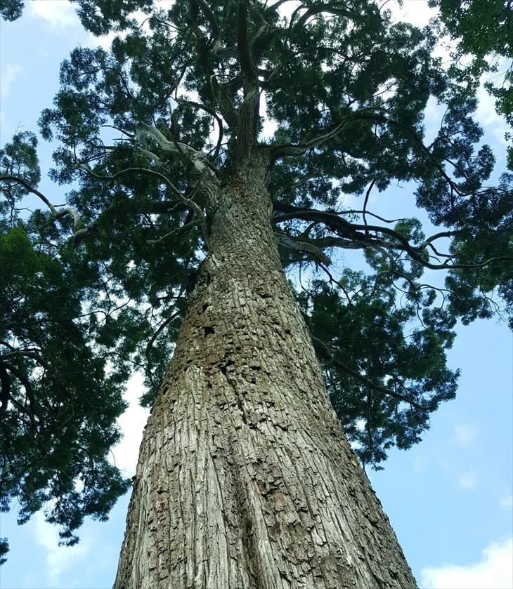Một cây pơ mu ngàn tuổi ở Tây Giang. Ảnh: TTH
