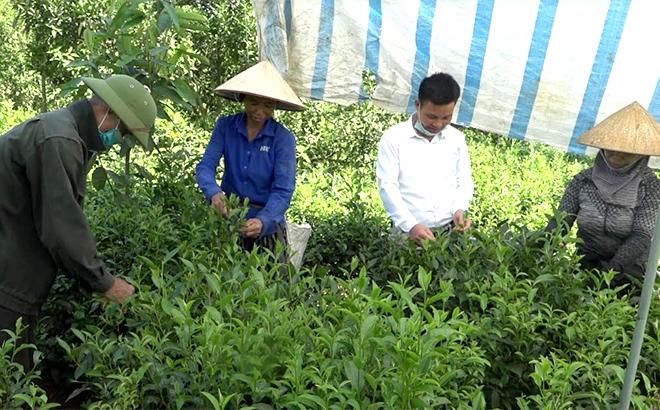 Ông Nhâm Văn Cheng thu hái chè cùng gia đình.