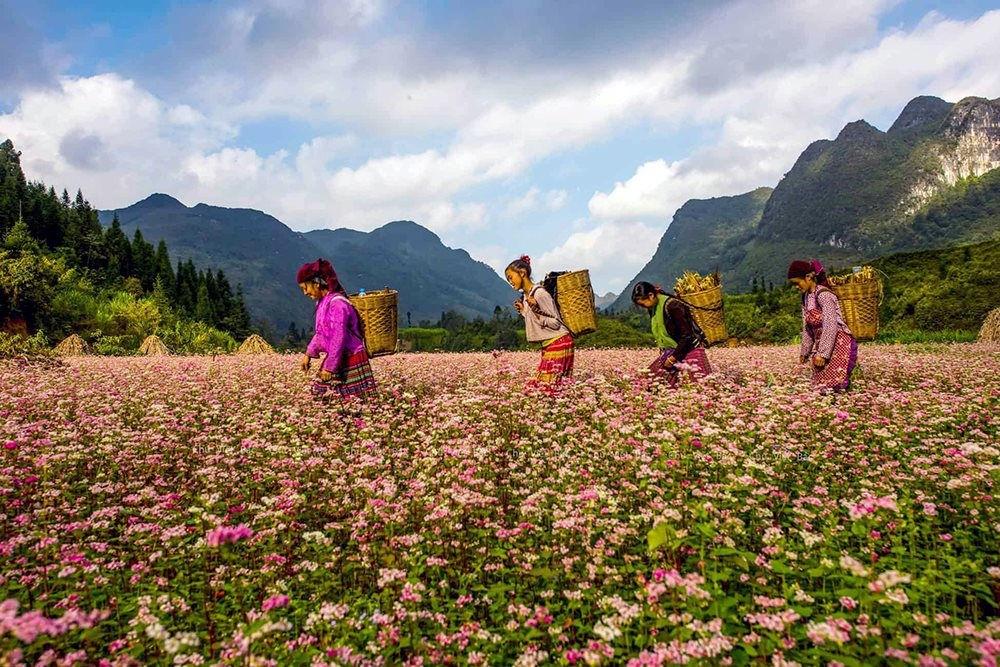 Những bông hoa tam giác mạch tim tím trải khắp những sườn đồi