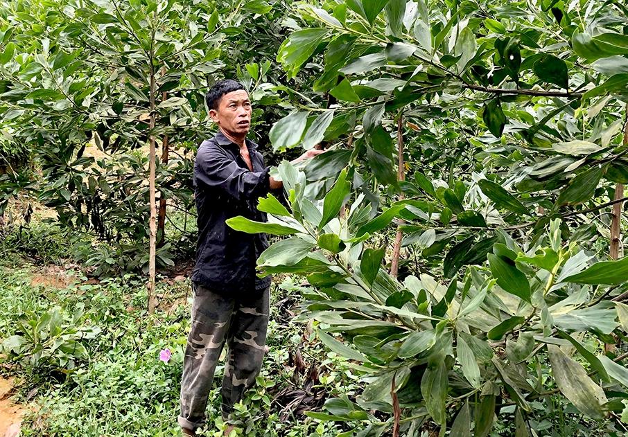 Ông Lý Văn Sính chăm sóc rừng keo hơn 1 năm tuổi
