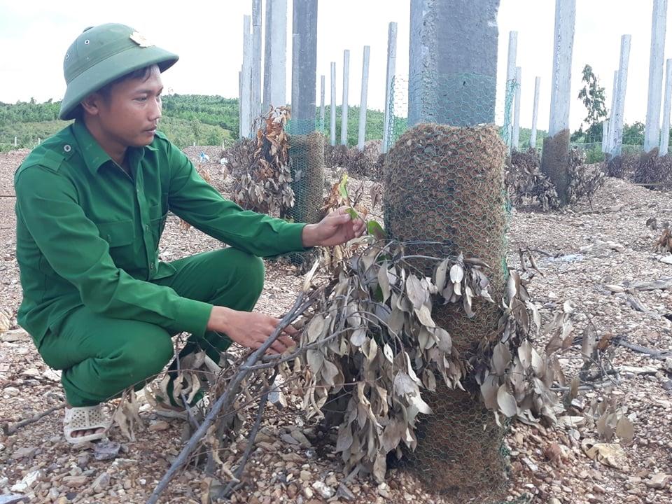 Mô hình trồng hồ tiêu theo tiêu chuẩn Ấn Độ của Tổng đội TNXP tỉnh Quảng Bình