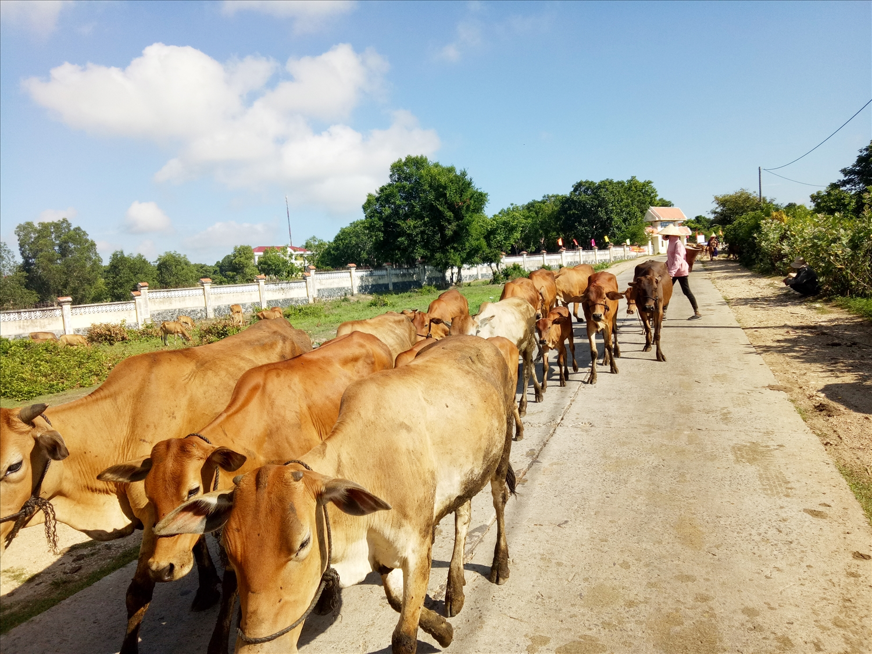 Chăn nuôi gia súc ở Ea Lâm phát triển mạnh. (Ảnh H.H Thế)