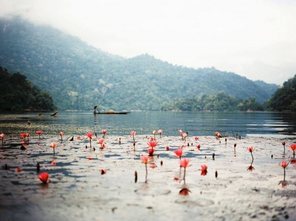 Những bông hoa súng trên hồ Ba Bể