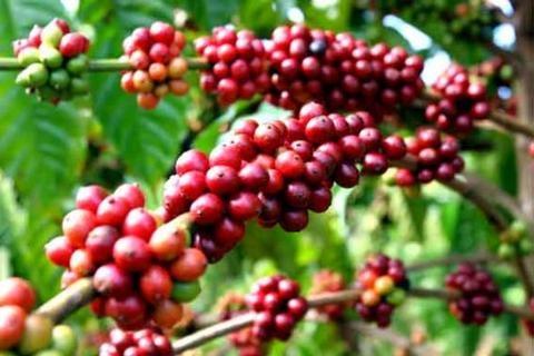 Tại thị trường trong nước, giá cà phê đang giao dịch ở mức 35.200 - 36.100 đồng/kg