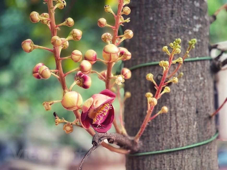 Trước sân chùa có trồng cây Sala, loài hoa gắn với sự tích Phật thành đạo. (Ảnh: Xuân Mai/Vietnam+)