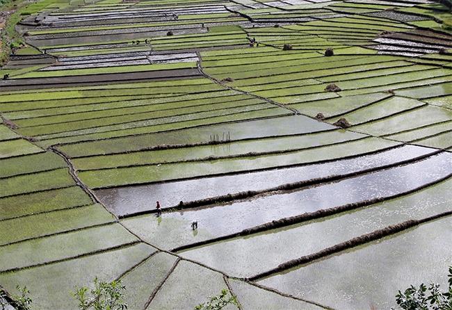 Cánh đồng lúa Chuôr, xã A Xan được khôi phục sản xuất sau bão lũ. (Ảnh: ĐH)