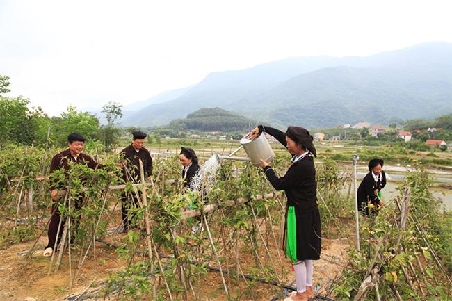 Đồng bào dân tộc thiểu số xã Đạo Trù, huyện Tam Đảo mạnh dạn chuyển đổi cây trồng kém hiệu quả sang trồng cây dược liệu có giá trị kinh tế cao. (Ảnh: Trường Khanh)