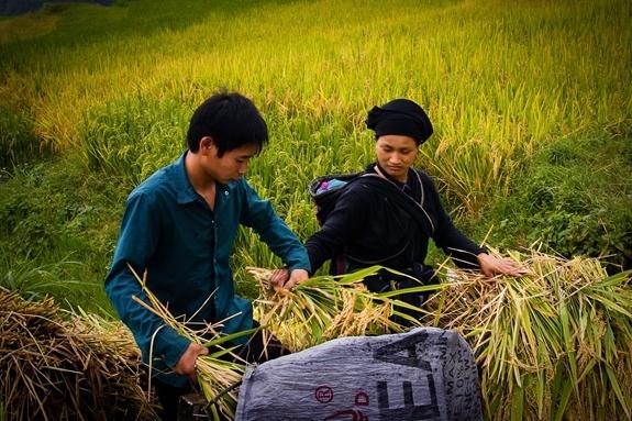 Một gia đình thu hoạch lúa