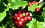 Giá cà phê hôm nay 16/7 tạ thị trường trong nước giảm 100-200 đồng/kg