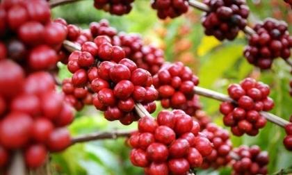Giá cà phê hôm nay 17/7/2021, thị trường trong nước tăng trung bình 200 đồng/kg tại các vùng trọng điểm so với cùng thời điểm sáng hôm qua