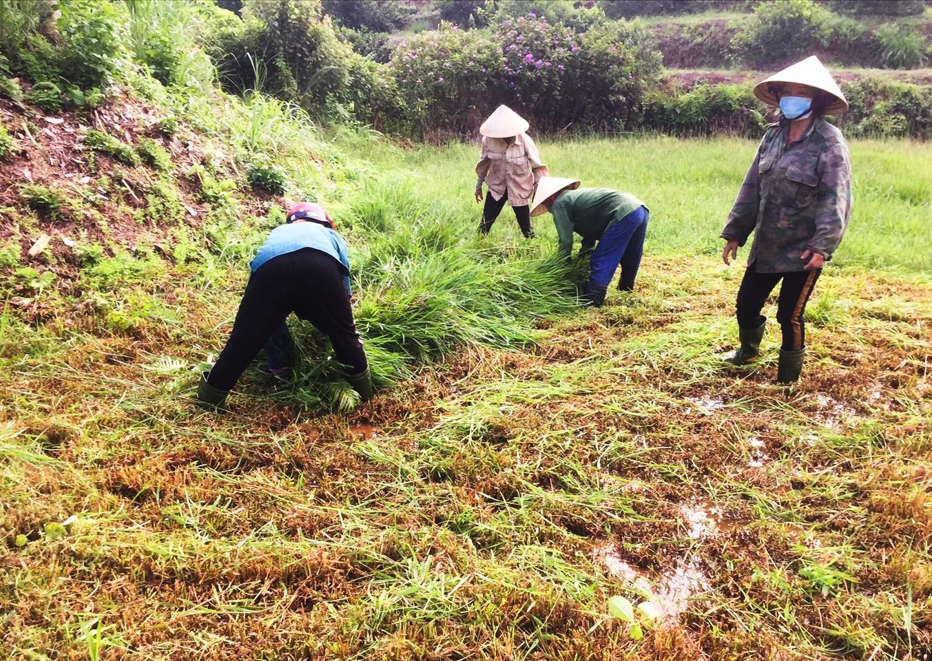 Chị Thắm cùng người dân cắt cỏ cho đàn hươu của các hộ gia đình đang đi cách ly