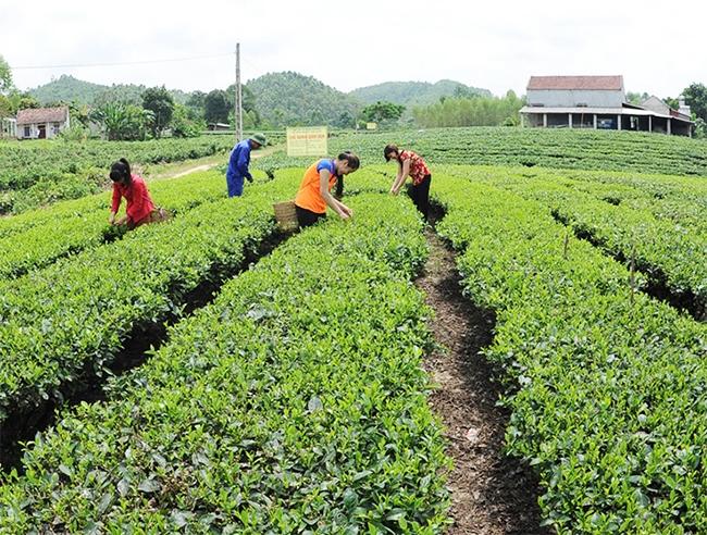 Vùng sản xuất chè sạch tại bản Ven, xã Xuân Lương, huyện Yên Thế. (Ảnh: AT)